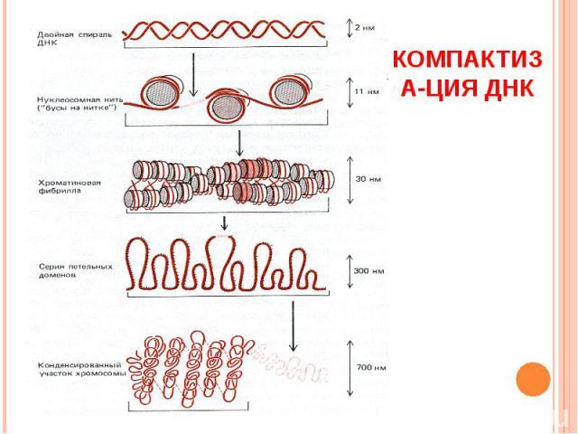 Компактиза-ция ДНК