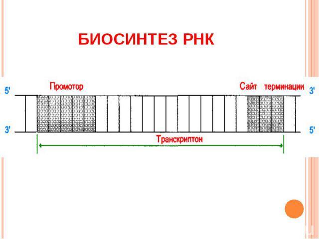 Биосинтез РНК