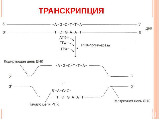 Транскрипция