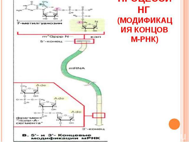 Процессинг (модификация концов м-РНК)