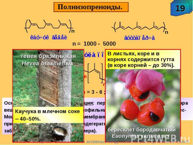 Полиизопреноиды. В листьях, коре и в корнях содержится гутта (в коре корней – до 30%). гевея бразильская Hevea brasiliensis Каучука в млечном соке – 40–50%. Функция: переносят глюкозу и другие сахара (гидрофильные молекулы) через биологичес-кие мемб…