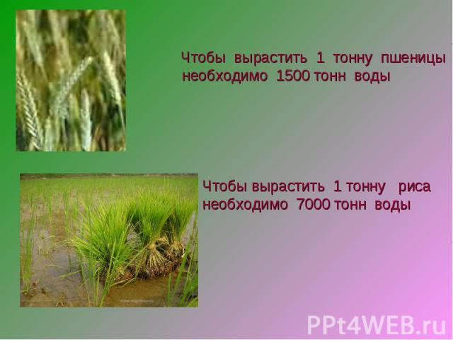 Чтобы вырастить 1 тонну пшеницы необходимо 1500 тонн воды Чтобы вырастить 1 тонну рисанеобходимо 7000 тонн воды