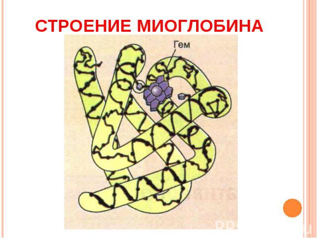 Строение миоглобина