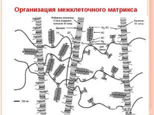 Организация межклеточного матрикса