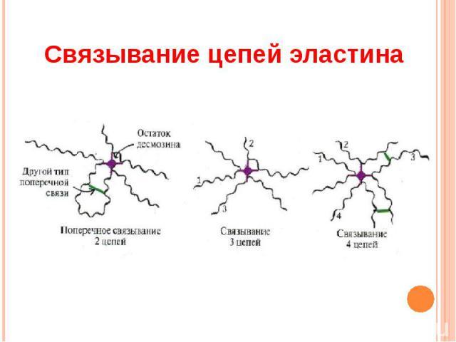 Связывание цепей эластина