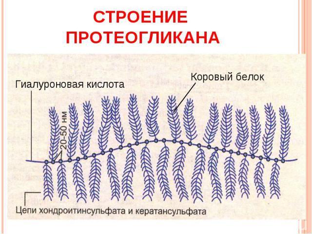 Строение протеогликана