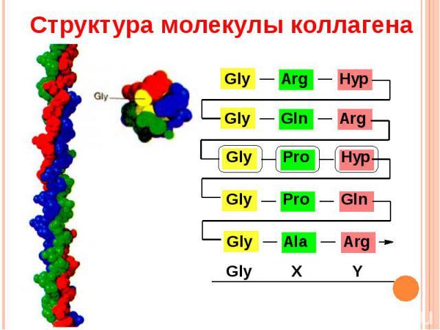 Структура молекулы коллагена