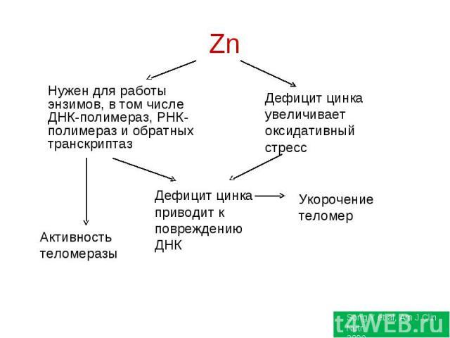 Нужен для работы энзимов, в том числе ДНК-полимераз, РНК-полимераз и обратных транскриптаз Дефицит цинка увеличивает оксидативный стресс Дефицит цинка приводит к повреждению ДНК