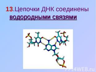 13.Цепочки ДНК соединены водородными связями