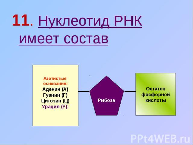 11. Нуклеотид РНК имеет состав Азотистые основания:Аденин (А)Гуанин (Г)Цитозин (Ц)Урацил (У): Рибоза Остатокфосфорнойкислоты