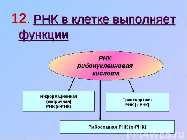 12. РНК в клетке выполняет функцииРНК рибонуклеиновая кислота Информационная(матричная)РНК (и-РНК) ТранспортнаяРНК (т-РНК) Рибосомная РНК (р-РНК)