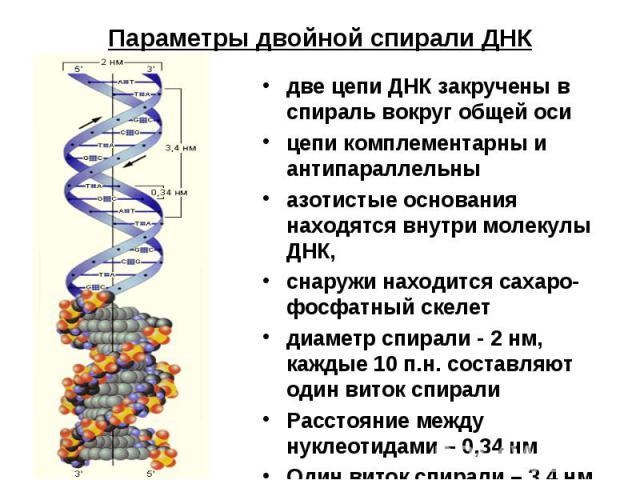 Параметры двойной спирали ДНК две цепи ДНК закручены в спираль вокруг общей осицепи комплементарны и антипараллельныазотистые основания находятся внутри молекулы ДНК, снаружи находится сахаро-фосфатный скелетдиаметр спирали - 2 нм, каждые 10 п.н. со…
