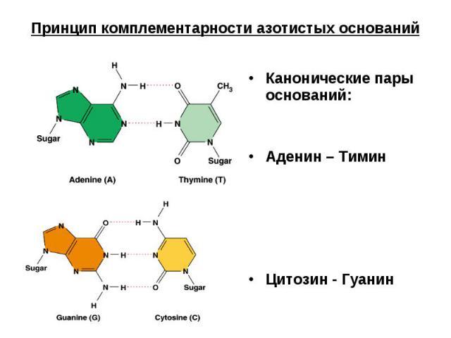 Принцип комплементарности азотистых оснований Канонические пары оснований:Аденин – ТиминЦитозин - Гуанин