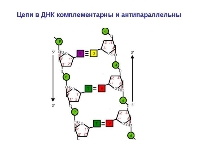Цепи в ДНК комплементарны и антипараллельны