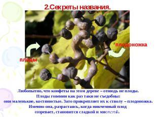 2.Секреты названия. Любопытно, что конфеты на этом дереве – отнюдь не плоды. Пло