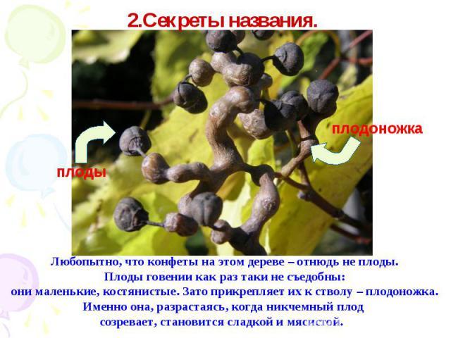 2.Секреты названия. Любопытно, что конфеты на этом дереве – отнюдь не плоды. Плоды говении как раз таки не съедобны: они маленькие, костянистые. Зато прикрепляет их к стволу – плодоножка. Именно она, разрастаясь, когда никчемный плод созревает, стан…