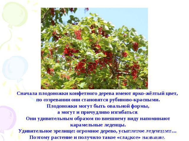 Сначала плодоножки конфетного дерева имеют ярко-жёлтый цвет, по созревании они становятся рубиново-красными. Плодоножки могут быть овальной формы, а могут и причудливо изгибаться.Они удивительным образом по внешнему виду напоминают карамельные леден…