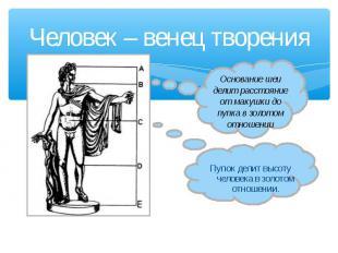 Человек – венец творения Основание шеи делит расстояние от макушки до пупка в зо