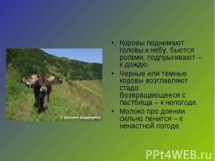 Коровы поднимают головы к небу, бьются рогами, подпрыгивают – к дождю.Черные или