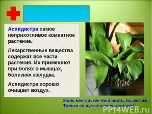 Аспидистра самое неприхотливое комнатное растение. Лекарственные вещества содерж