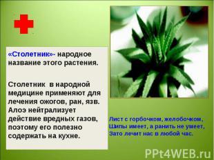 «Столетник»- народное название этого растения.Столетник в народной медицине прим
