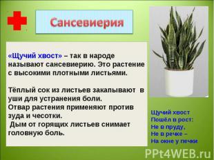 «Щучий хвост» – так в народе называют сансевиерию. Это растение с высокими плотн