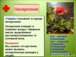 «Герань» называют в народе пеларгонию.Пеларгония очищает и освежает воздух. Эфир