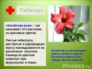 Гибискус «Китайская роза» - так называют это растение за красивые цветки.Листья