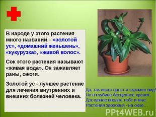 В народе у этого растения много названий – «золотой ус», «домашний женьшень», «к