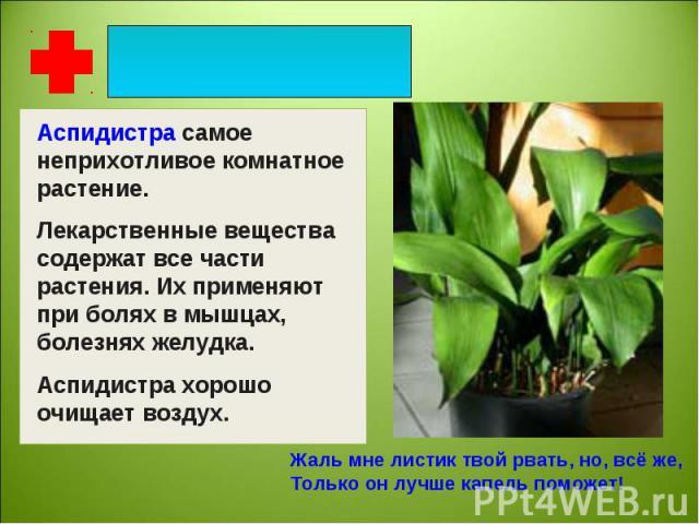 Аспидистра самое неприхотливое комнатное растение. Лекарственные вещества содержат все части растения. Их применяют при болях в мышцах, болезнях желудка. Аспидистра хорошо очищает воздух. Жаль мне листик твой рвать, но, всё же,Только он лучше капель…
