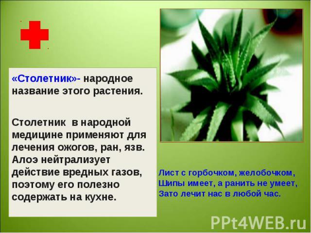 «Столетник»- народное название этого растения.Столетник в народной медицине применяют для лечения ожогов, ран, язв.Алоэ нейтрализует действие вредных газов, поэтому его полезно содержать на кухне. Лист с горбочком, желобочком,Шипы имеет, а ранить не…