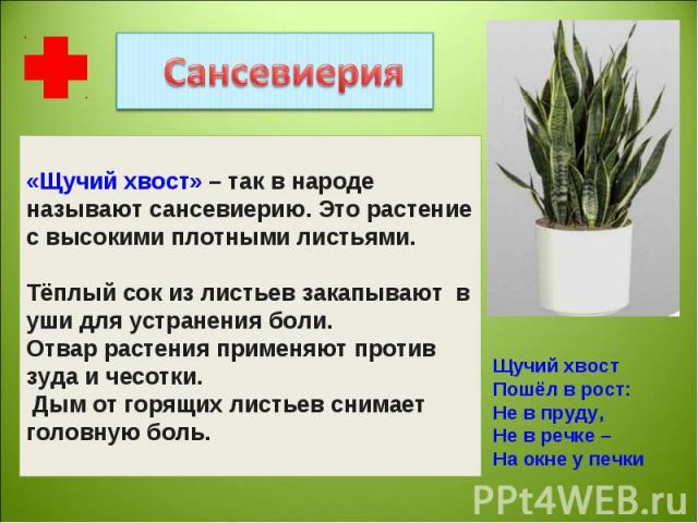 «Щучий хвост» – так в народе называют сансевиерию. Это растение с высокими плотными листьями. Тёплый сок из листьев закапывают в уши для устранения боли.Отвар растения применяют против зуда и чесотки. Дым от горящих листьев снимает головную боль. Щу…