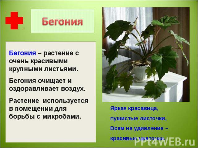 Бегония – растение с очень красивыми крупными листьями.Бегония очищает и оздоравливает воздух.Растение используется в помещении для борьбы с микробами. Яркая красавица, пушистые листочки,Всем на удивление – красивые цветочки.