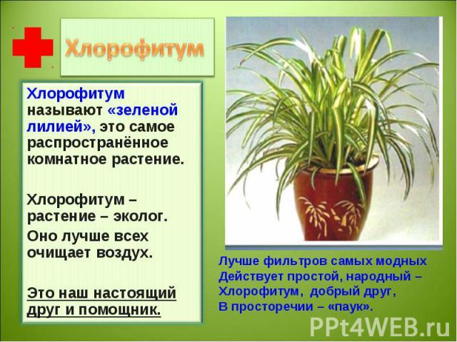 Хлорофитум называют «зеленой лилией», это самое распространённое комнатное растение. Хлорофитум – растение – эколог.Оно лучше всех очищает воздух.Это наш настоящий друг и помощник. Лучше фильтров самых модныхДействует простой, народный –Хлорофитум, …