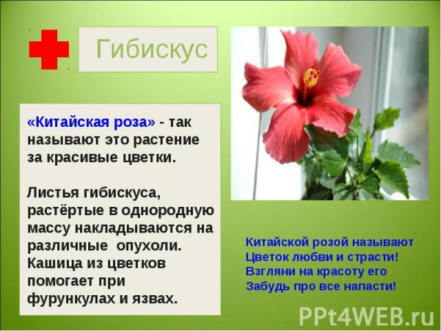 Гибискус «Китайская роза» - так называют это растение за красивые цветки.Листья гибискуса, растёртые в однородную массу накладываются на различные опухоли.Кашица из цветков помогает при фурункулах и язвах. Китайской розой называютЦветок любви и стра…