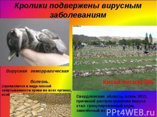 Кролики подвержены вирусным заболеваниям Вирусная геморрагическая болезнь.(прояв
