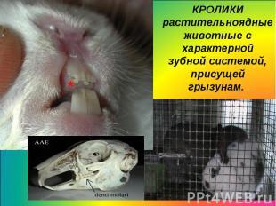 КРОЛИКИрастительноядные животные с характерной зубной системой, присущейгрызунам