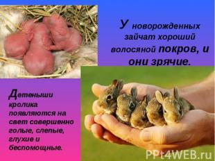 У новорожденных зайчат хороший волосяной покров, и они зрячие. Детеныши кролика