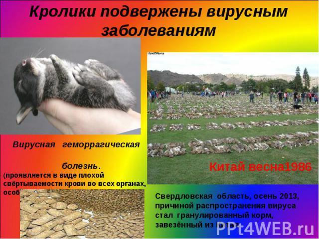 Кролики подвержены вирусным заболеваниям Вирусная геморрагическая болезнь.(проявляется в виде плохой свёртываемости крови во всех органах, особенно в легких и печени.) Свердловская область, осень 2013, причиной распространения вируса стал гранулиров…