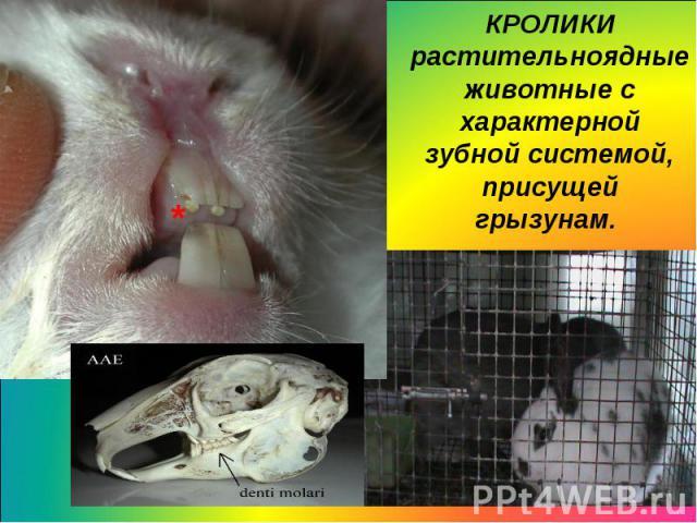 КРОЛИКИрастительноядные животные с характерной зубной системой, присущейгрызунам.