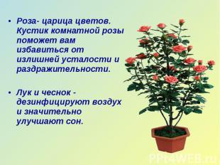 Роза- царица цветов. Кустик комнатной розы поможет вам избавиться от излишней ус