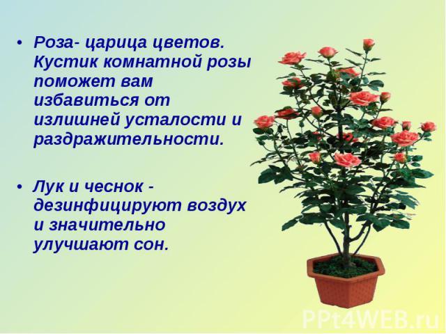 Роза- царица цветов. Кустик комнатной розы поможет вам избавиться от излишней усталости и раздражительности. Лук и чеснок - дезинфицируют воздух и значительно улучшают сон.