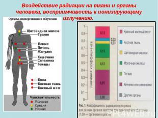 Воздействие радиации на ткани и органы человека, восприимчивость к ионизирующему