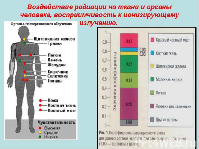 Воздействие радиации на ткани и органы человека, восприимчивость к ионизирующему излучению.