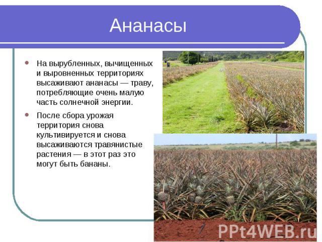 Ананасы На вырубленных, вычищенных и выровненных территориях высаживают ананасы — траву, потребляющие очень малую часть солнечной энергии. После сбора урожая территория снова культивируется и снова высаживаются травянистые растения — в этот раз это …