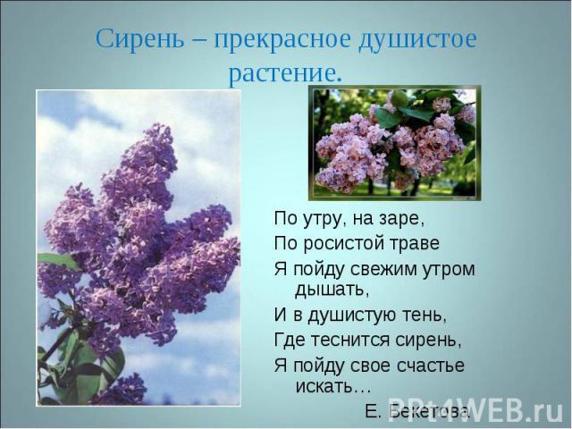 Сирень – прекрасное душистое растение. По утру, на заре,По росистой травеЯ пойду свежим утром дышать,И в душистую тень, Где теснится сирень,Я пойду свое счастье искать… Е. Бекетова