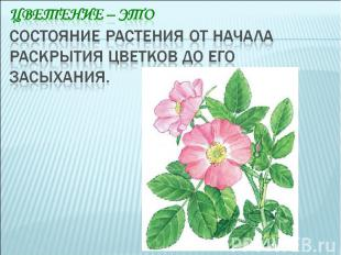 Цветение – это состояние растения от начала раскрытия цветков до его засыхания.