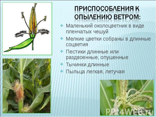 Маленький околоцветник в виде пленчатых чешуйМелкие цветки собраны в длинные соцветияПестики длинные или раздвоенные, опушенныеТычинки длинныеПыльца легкая, летучая