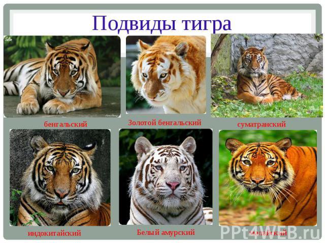 Подвиды тигра