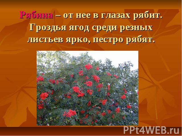 Рябина – от нее в глазах рябит. Гроздья ягод среди резных листьев ярко, пестро рябят.